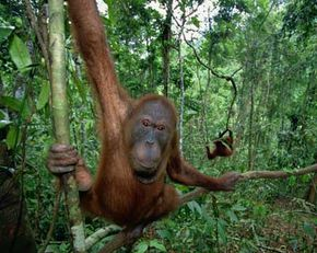 Orangutans are arboreal acrobats, spending almost their entire lives in trees. See more pictures of mammals.