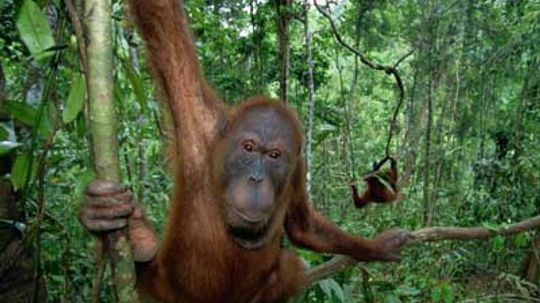Are orangutans introverts?