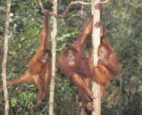 Some orangutans are more social than people believe.