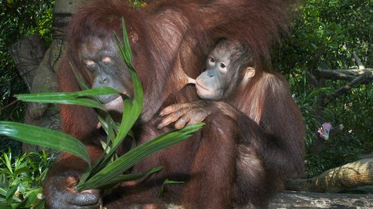 Orangutans Can Nurse for 20 Percent of Their Lives