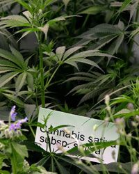 Cannabis sativa plants are displayed during the Chelsea Flower show held in London. The plants have been cultivated are grown strictly for their fiber.