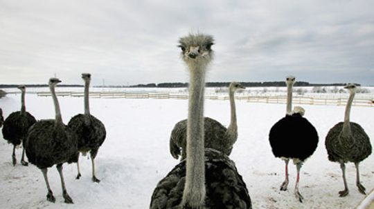 Why do ostriches have red meat instead of white?