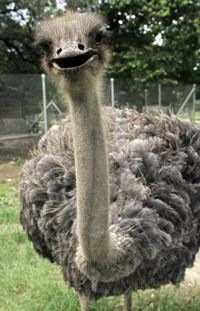 An intrigued ostrich peers at the camera. Ostriches, unlike other birds, have red meat.