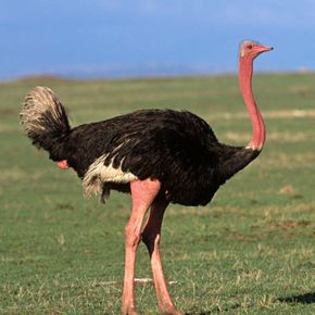 Ostriches cannot fly, but don't feel too sorry for them. The ostrich is the fastest bipedal runner in the world, capable of reaching speeds up to 45 miles per hour--about twice what the fastest human can achieve. What's more, an ostrich can maintain this speed for up to half an hour. See more bird pictures.