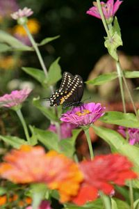Butterflies need places to feed through all four stages of their lives.