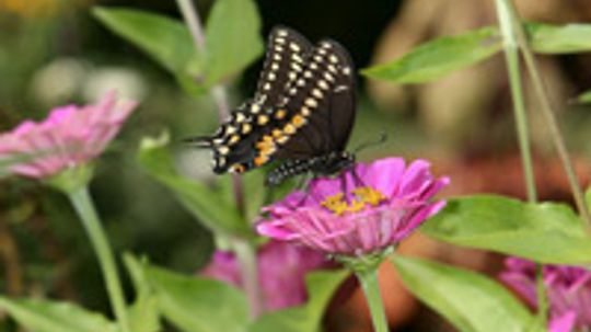 How to Attract Butterflies to a Backyard