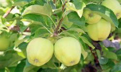 Golden Delicious apples were named for their bright yellow color.