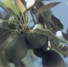 Avocado, though challenging to propagate, can be fun to grow in a glass. See more pictures of vegetables.