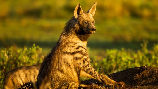 Aardwolf: Aaarvark? Wolf? Nope, It's a Tiny Hyena