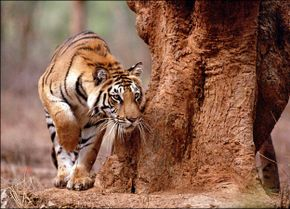 All about Tigers