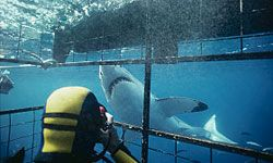Cage diving with sharks is a popular activity for adrenaline junkies.