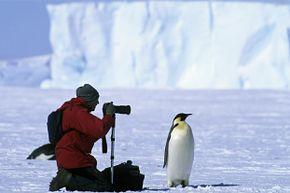 Photographing an Emperor penguin (Aptenodytes forsteri) Weddell Sea, Antarctica.
