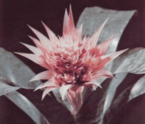 Aechmea leaves form distinctive, overlapping rosettes. See more pictures of bromeliads.