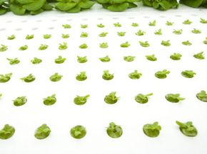 An example of an aeroponics board. The crown of the plant grows above, while the roots dangle below.