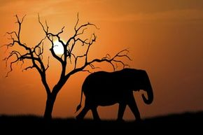 Africa is home to more than 800 species of animals, some of which -- like the African elephant -- you won't find naturally anywhere else in the world. Watch as the hosts of Coolest Stuff on the Planet tour Africa in these videos.