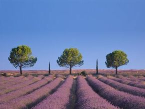Lavender fields with trees.