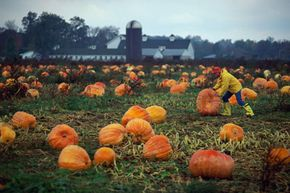 Farms like this one in Collins, New York, might sell some pumpkins wholesale and use others as part of a fall festival.