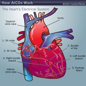 The principal parts of the heart's electrical system