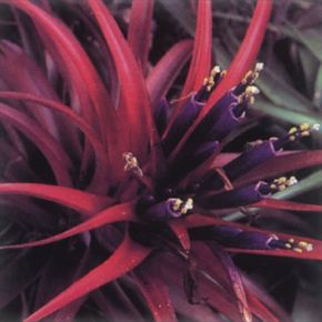 Air plant completely changes color when it flowers.