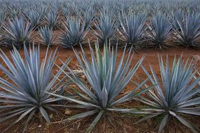 These blue agaves grow in a plantation for tequila production in Arandas, Mexico. Thanks to a winning international sales strategy, tequila has ceased to be a 'bricklayer's drink' in Mexico and has become fashionable all over the world.