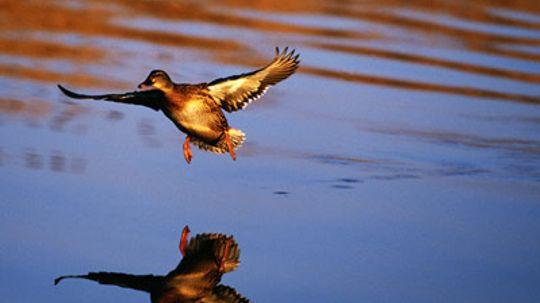 How the Alabama Waterfowl Association Works