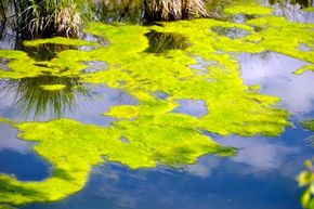 Algae, shown here floating on the top of a pond, may look humble, but have the potential to help change the energy industry -- if only we find efficient ways to cultivate them.