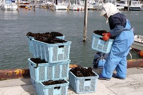 A worker stacks baskets of harvested algae at the waterfront.
