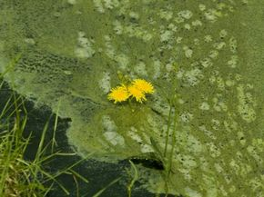 Who would have thought pond scum could be the key ingredient in green fuel?