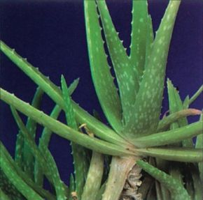 The gray-green leaves of the aloe medicine plant canup to a foot long. See more pictures of house plants.