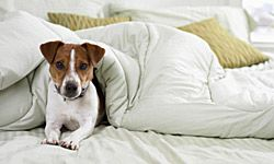 Pet allergies are triggered by danger, or flakes of the animal's skin that become airborne.
