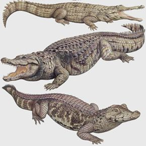 There are more than 23 species in the order Crocodylia. See more alligator pictures.