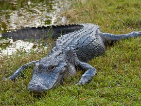 Alligators are more threatening in water than on land.