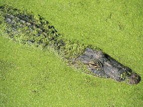 With just its eyes and nostrils above the water, an alligator is nearly invisible when it is lying motionless in the shadows.