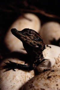 A newborn American alligator frees itself from its egg.