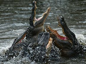 Alligators can propel themselves up to 5 feet out of the water with their tails.