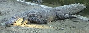 Your basic alligator has a large head, a lizard-like body, four stubby legs and a long tail.