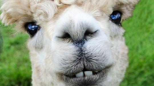 Alpacas Are Totally Not Llamas