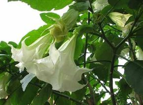 Angel's trumpet, also known as trumpet flower or horn of plenty, is a