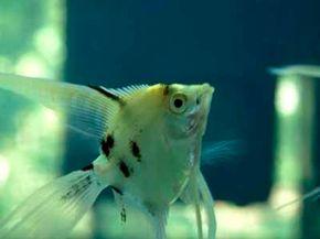 Angelfish -- Pterophyllum scalare See more aquarium fish pictures.
