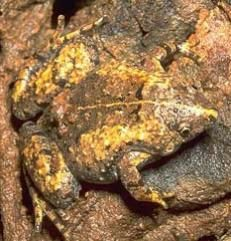 This toad is hardly distinguishable from its surroundings.