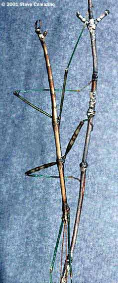 Walking sticks have adapted to resemble their surroundings. Most of the time, their predators pass them by as they would a real twig.