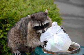 """Just because raccoons get their food from the garbage doesn't mean they won't """"wash"""" it before eating."""