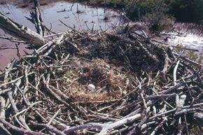 A bald eagle egg lies in this huge nest in the Everglades National Park in Florida.
