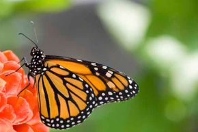 Butterflies use their feet to determine if the plant they have landed on is toxic.
