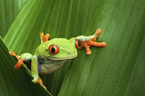 """Did you know that many tree frogs freeze in the winter and """"spring"""" back to life in the warmer months? That's just one of our amazing animal facts. See more amphibian pictures."""