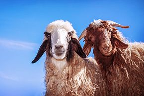 Male sheep raised by goats had a harder time learning to love the ladies of their own species.