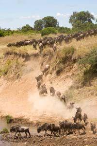 Wildebeest crossing creek bed in the Masai Mara, Kenya, Africa.