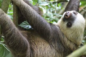Sloths aren't lazy; they've discovered it's smarter to lie still and camouflage rather than attract the attention of predators with movement.