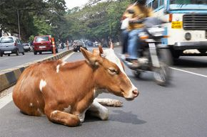 Smart or stupid? This cow disrupts traffic in Bangalore, India.