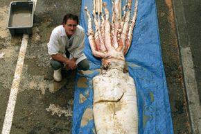 A giant squid, caught off the coast of New Zealand, is displayed at the Wellington dockside.